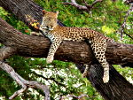 Wildlife Photography.  A leopard in Moremi Game Reserve in the Okavango Delta, Botswana.