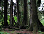 Line of trees in Hoh Rain forest in Olympic National Park.