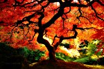 brilliant orange red Japanese Maple tree