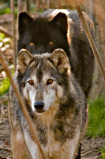 Gray wolves in the Wolf Sancuary of Pennsylvania.