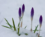 Purple flowers in snow.  Lifetime.  Nature picture.