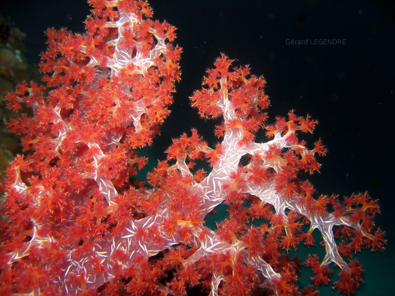Underwater photography. Prickly alcyonarian coral.