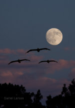 pelicans, moons, binoculars, telescopes.