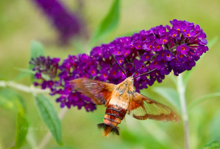 Hummingbird Moth, Ohio.  Pretty flower, moth, hummingbird.