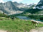 Mountain goats, hidden lake, Glacier national park, Montana.