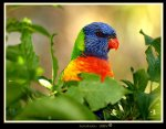Rainbow Lorikeet, Australia.  Travel to Australia.