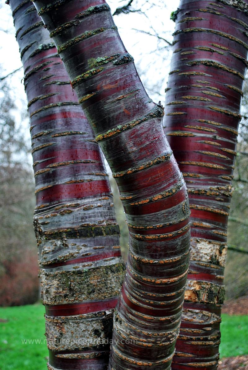 Trees, red bark, triplets.