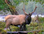 Roosevelt Elk, Hoh Rainforest, Olympic National Park, WA