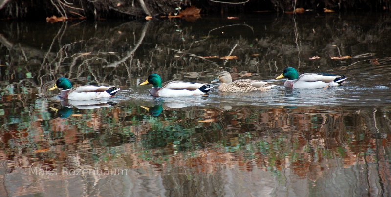 Mallard ducks in a pond.