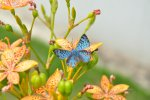 Blue Butterfly in Vinhedo, SP, Brazil.