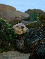 Sea Otter, nature picture.