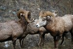 Bighorn sheep, horns, rams, ewes, wool, clothes.