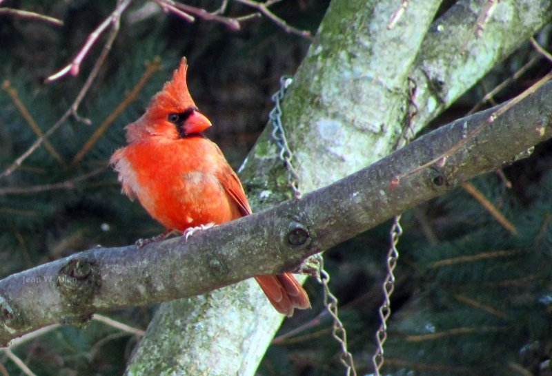 Northern Cardinal.  Bird feeder.