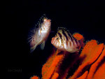 Blotched Hawkfish.  Underwater photography.  Scuba diving.