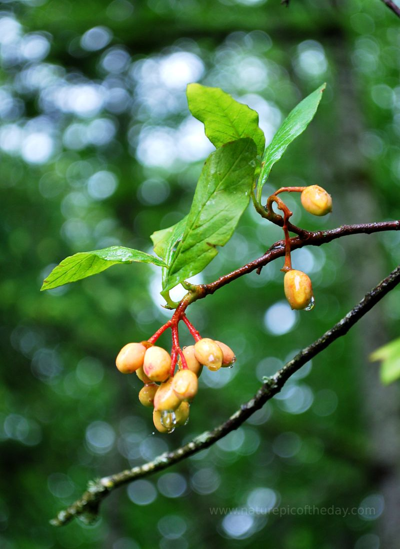 Osoberry, native plants, fruit trees.