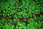 clover, 4 leaf clover, university of washington.