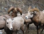 Bighorn Sheep in Montana.  Tour Montana.  Guided hunt.