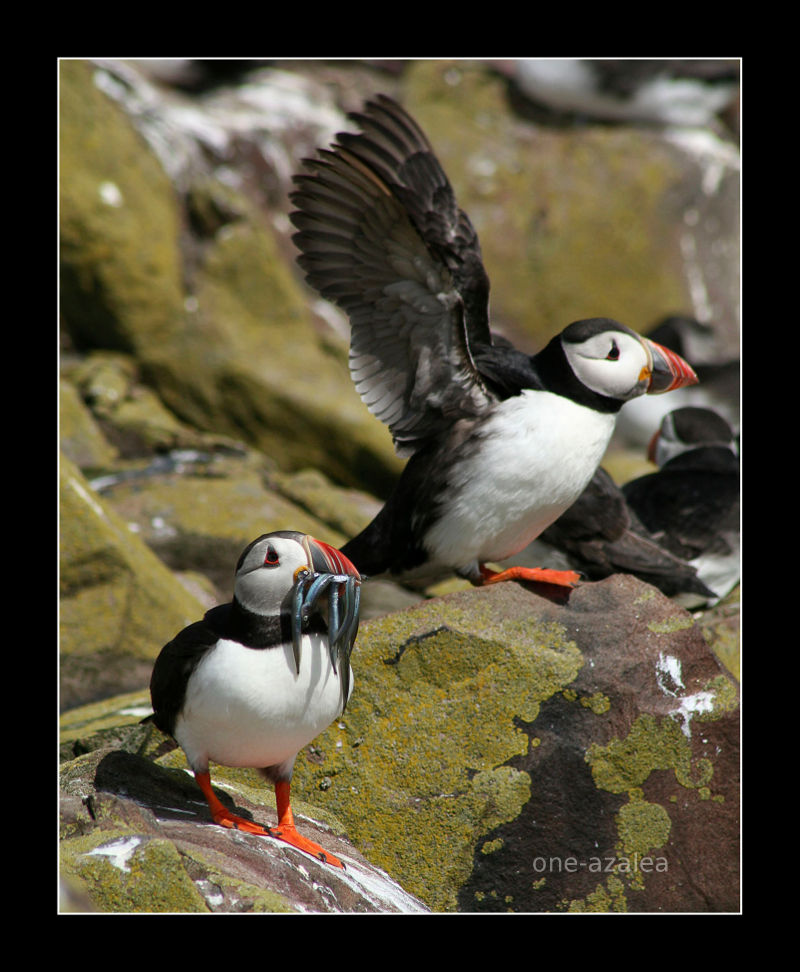 Puffin with Sand Eels.  Farne Islands.