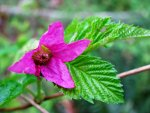 Salmonberry, Rubus spectabilis, jam, jelly, homemade.