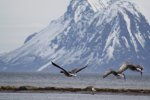 Seabirds in Norway.  Andoya Island, Grytoya Island, Norway