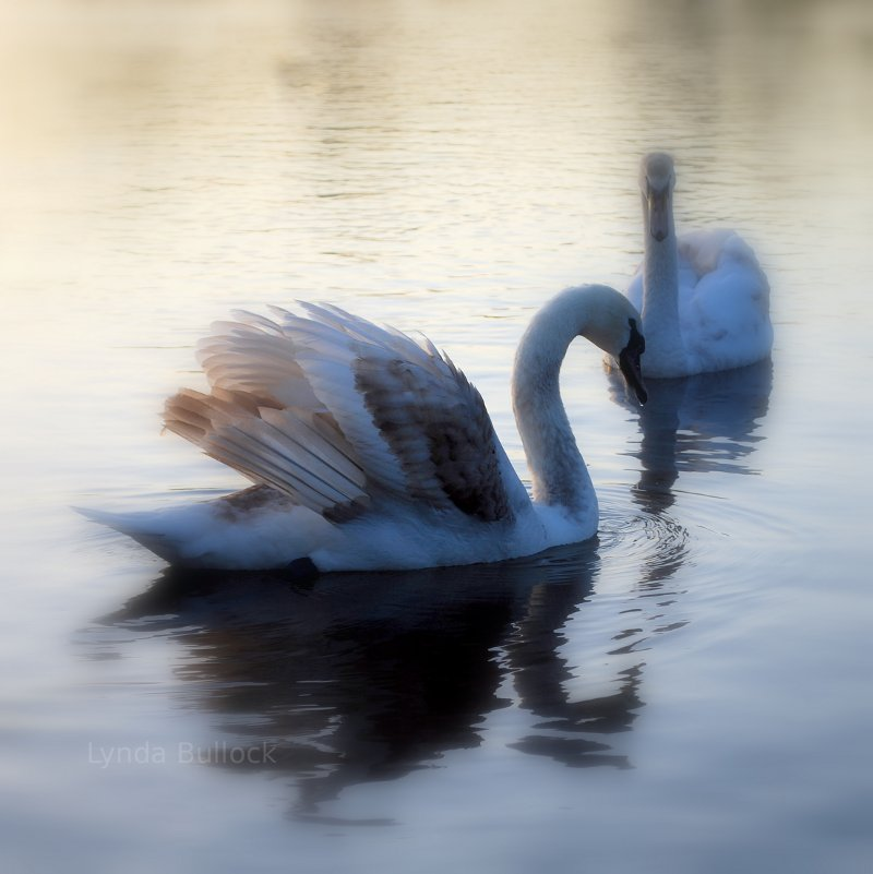 Swans in England.