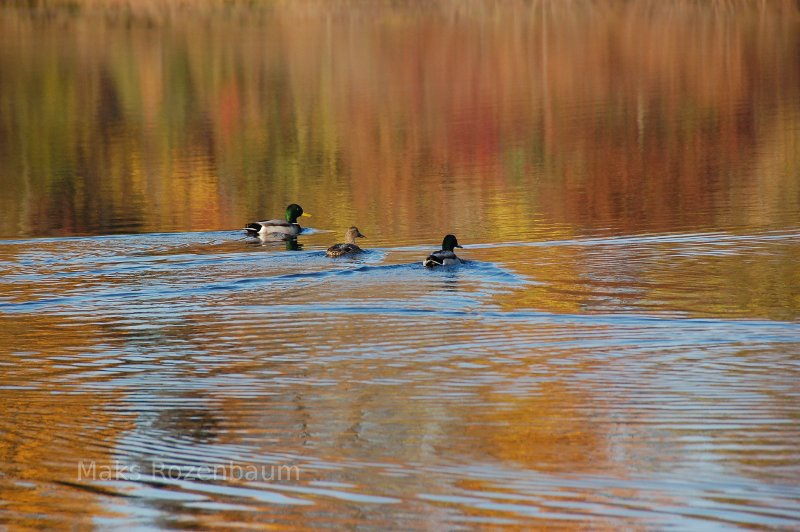 Three Mallard ducks.