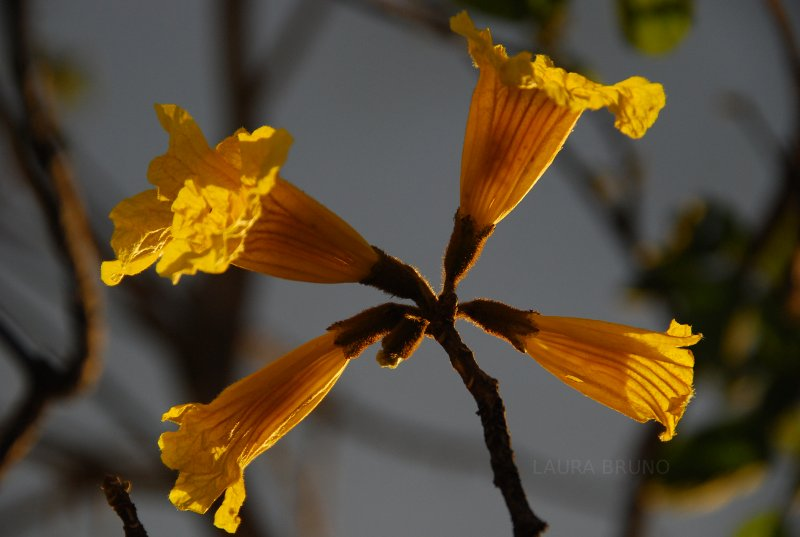 Yellow Ipe Tree