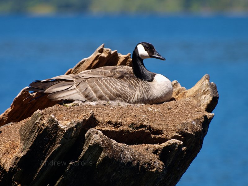 Canadian Goose.  Lake Crescent, Olympic Peninsula, Washington.
