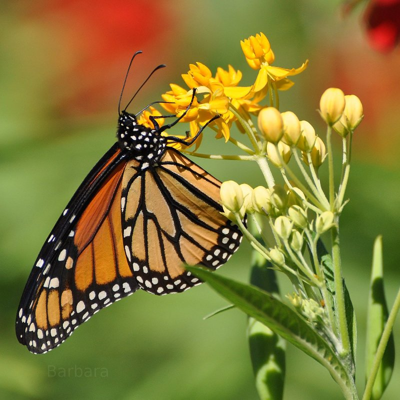 Monarch Butterfly, Chicago, IL.