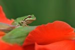 Pacific Tree Frog on a Flower at Vancouver, Washington.""