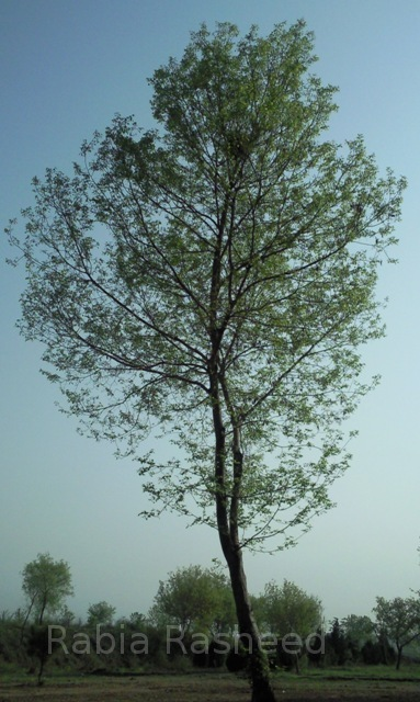 Tree in Islamabad, Pakistan.