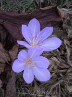 Autumn crocus in British Columbia