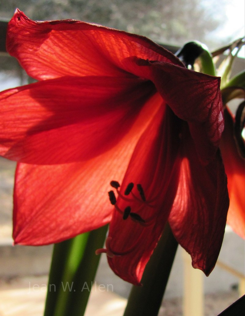 Amaryllis on Valentines Day. Flowers.