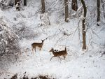 Deer in new snow.