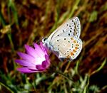 Butterfly on a flower in Turkey.
