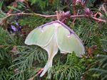 Luna Moth in Hillsboro, Wisconsin
