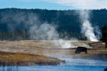 Buffalo in Yellowstone National Park.