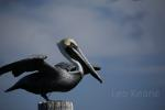 Pelican at Moss Point, Mississippi