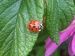 Ladybug on the Isle of Skye, Scotland.