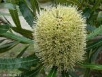 Blossom of the banksia in Australia.