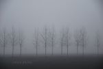 Trees in fog.
