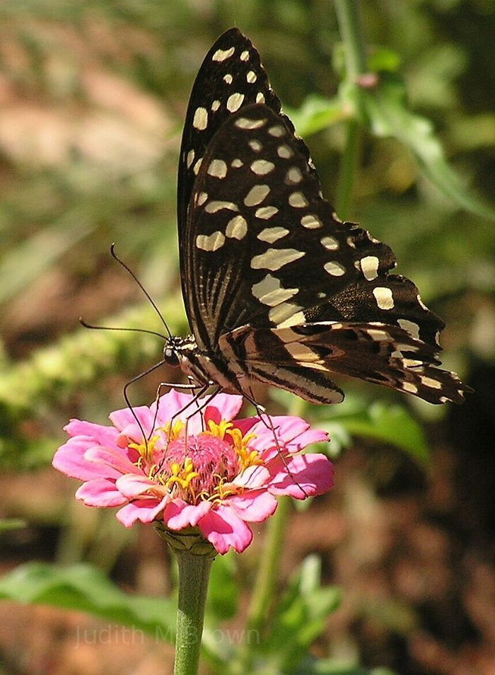 Butterfly in South Africa