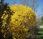 Yellow Shrub in Canada
