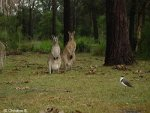 Bird and Kangaroo in Australia
