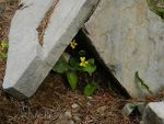 Flowers sheltered by rocks.