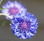 Bachelors button, cornflower
