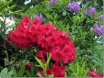 Rhododendrons in British Columbia
