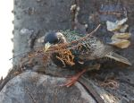 Starling bird building a nest.