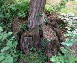 Tree in a stump
