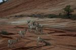 Dall Sheep Zion National Park